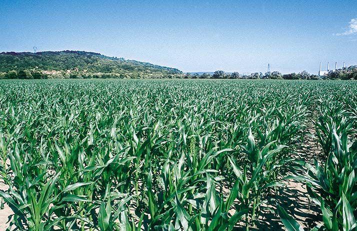 Dipel DF, un nouveau produit de biocontrôlepour lutter contre la pyrale du maïs. ©F.Pierrel/Pixel Image