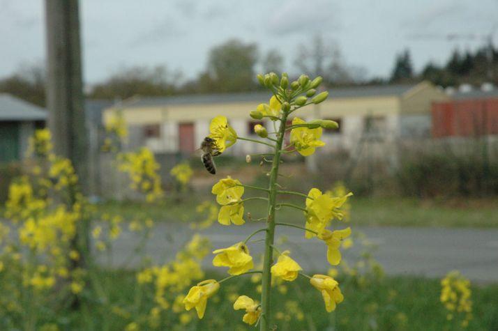 La Fop alerte sur l'indispensable vigilance à avoir en période de traitement en floraison pour protéger les abeilles. © S. Favre/Pixel image