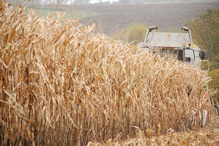 La collecte nationale de maïs grains en 2020 affiche 13,6 millions de tonnes. © Pixel6TM