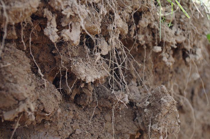 La densité racinaire est tout aussi importante que la profondeur à laquelle les racines peuvent descendre afin d'explorer un maximum les différents horizons du sol.