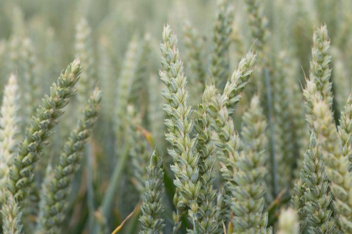 Deux blés hybrides Semences de France : Hybello et Hyclick. © DR