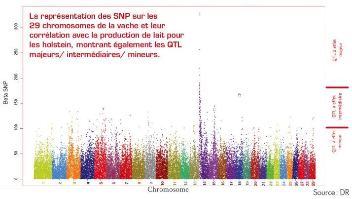 La représentation des SNP sur les 29 chromosomes de la vache