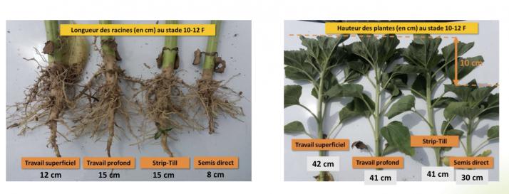 Aucune différence de développement du tournesol entre les modalité, par contre le semis direct est en retrait. Crédit : GIEE Magellan