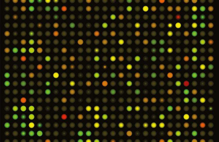 Le génotypage à haut débit est réalisé sur des «puces à ADN» capables de caractériser des milliers de marqueurs SNP en un temps record, via une multitude de spots fluorescents qui correspondent aux marqueurs identifiés de l'individu étudié. © Alila Medi