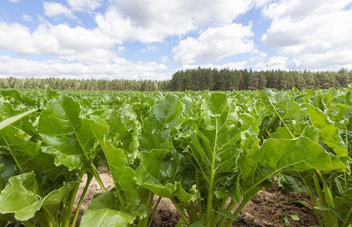 Néonicotinoïdes : la filière betterave-sucre espère une dérogation.© Rsooll/Fotolia