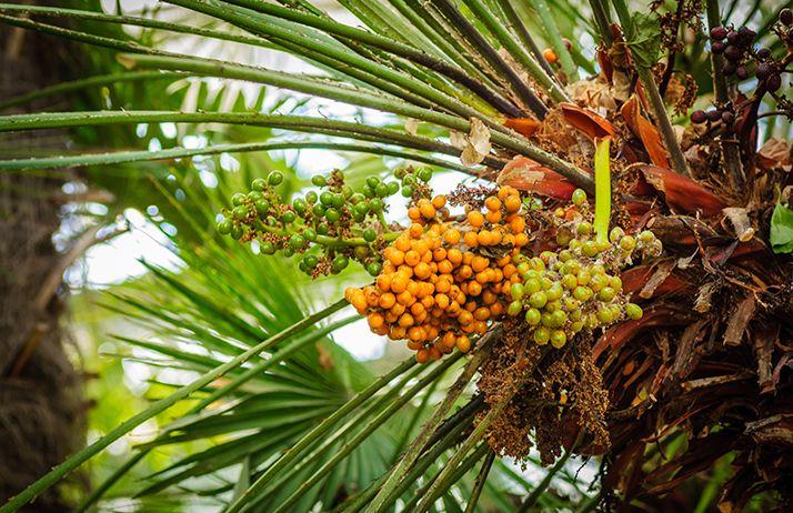 Recul de l'UE sur l'interdiction d'huile de palme. © Shanserika/Fotolia