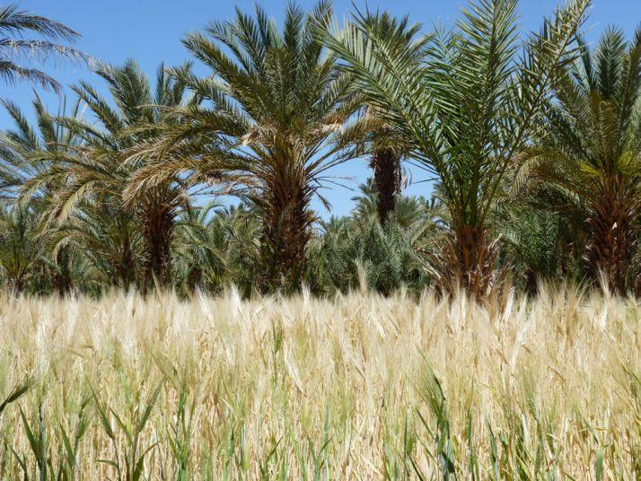 Il y a une vraie production de blé tendre au Maroc. © Bastienc37Fotolia