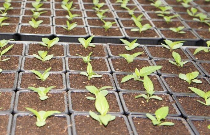 Le projet Isoseed a pour objet de sélectionner des variétés de grandes cultures ou maraîchères aux propriétés germinatives plus qualitatives.
