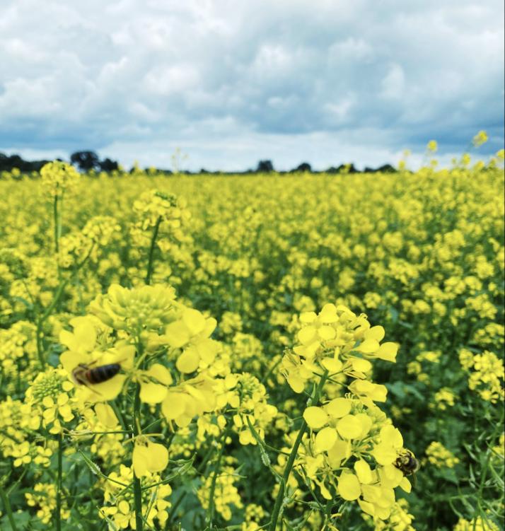 La lutte préventive contre les grosses altises sur colza passe par une combinaison de pratiques agronomiques. Crédit photo : Agroleague