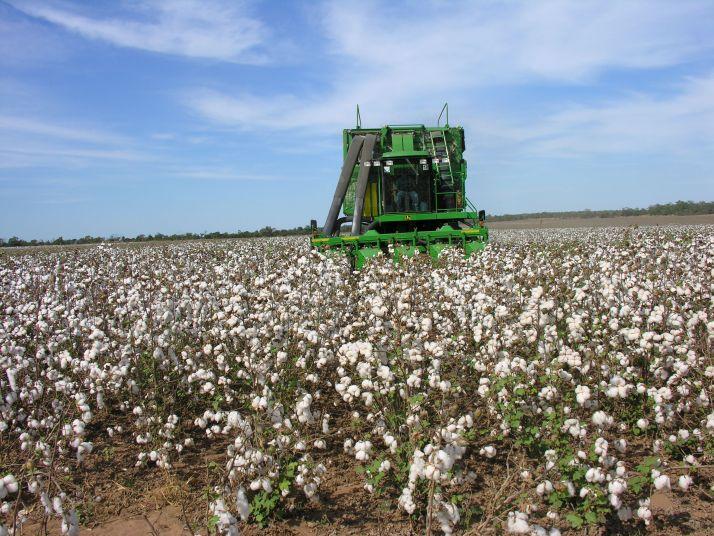 Récolte de coton. Crédit H.Théry