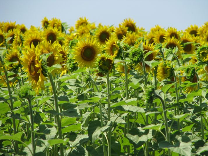 Une irrigation de 30 à 400 mm serait la bienvenue pour les tournesols. © S. Simonin/Pixel image