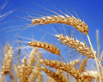 Темпы продаж российского зерна на экспорт замедлились