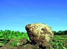 Betteraves et chicorées :Shiro®, le nouvel herbicide d'UPL.© Fotolia