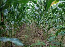 Dans le cadre du verdissement, Bruxelles aurait validé le dispositif maïs proposé par l'AGPM (Association générale des producteurs de maïs). Photo: C. Milou/Pixel Image
