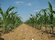 Le maïs français doit rester dans la course. © H. Grare/Pixel Image