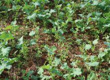 Les solutions de post-levée ouvrent la voie de plantes compagnes du colza aux parcelles un peu plus sales qu'à l'accoutumée. ©@O.leveque/Pixel6TM