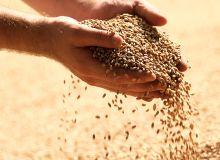 La qualité des blés devrait satisfaire les utilisateurs. ©DenisProduction.com/Adobe Stock