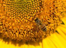 La fréquentation du tournesol par les abeilles serait conditionnée par la génétique. ©Stan-972/Adobe Stock