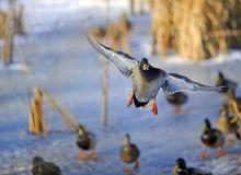 Une armée de canards prête à faire feu contre les criquets. ©Pascal Huot/Adobe stock