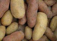 Avec 2,1 millions de tonnes exportées (frais + plants), la France est le premier exportateur mondial de pommes de terre.