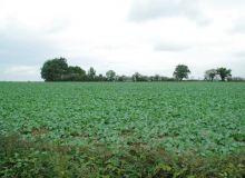 le colza subi plus ou moins  les impacts du changement climatique selon les régions (ici en Maine-et-Loire, les orages ont permis au colza de se développer).