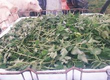 Orties fraîchement récoltées en prévision d'une macération.Photo : AgroLeague