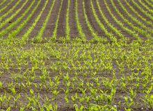 La France est le premier producteur européen de semences de maïs et le premier exportateur mondial. Un leadership qu'elle doit à son savoir-faire et à la diversité des variétés disponibles produites sur 85 000 ha. Photo : Olivier SALESSE