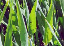 Une composition équilibrée de la sève des jeunes plantes est un gage de moindre pression pucerons sur céréales d'hiver. Crédit Photo : Agroleague