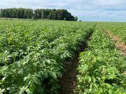 Pommes de terre 10 jours après avoir été grêlées. Fabien Monte