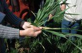 Des extraits de betteraves pour soigner la septoriose du blé. © S. Seysen/Pixel image