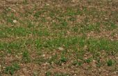 Colza au stade 2 feuilles © N. Chemineau/Pixel image