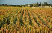Le sorgho a progressé de 10 000 ha en trois ans. ©Maxime Barbier/Pixel Image