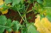 Un colza robuste en entrée d'hiver est moins sensible aux larves de grosses altises et a donc plus de chance d'exprimer son potentiel au printemps suivant.© Mathieu Lecourtier/Média&Agriculture