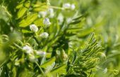 L'Anils et Terres Inovia alertent sur l'observation d'une pression grandissante du puceron vert sur les lentilles dans un nombre croissant de parcelles.