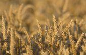 Un grand pas pour la sélection de variétés de blé tendre adaptées au changement climatique.