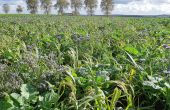 Couvert végétal multi-espèces semé à la volée quelques semaines avant la moisson.