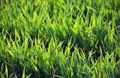 Des nouvelles variétés de blés hybrides adaptées au contexte pédoclimatique du nord de la France devraient être candidates à l'inscription au CTPS dès l'automne prochain, a annoncé Syngenta France.