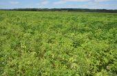 Photographie prise le 9 juillet 2015 dans le secteur de Toulouse. Il s'agit d'un champ de soja. Le soja est vert foncé, l'ambroisie trifide verte claire / Guillaume Fried - Anses de Montpellier