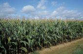 La diversité génétique du maïs devrait lui permettre de s'adapter au changement climatique.