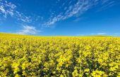 En France, le potentiel du colza d'hiver reste supérieur à celui du printemps. « Les comparaisons entre les deux cultures sont délicates car les cycles de production et les régions où elles sont cultivées sont différents », prévient Julien Binet.Crédit p