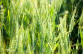 Fertispring, la bionutrition homologuée sur grandes cultures.