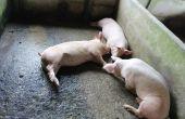 La Chine booste le marché du porc. © MG Photo/Fotolia