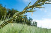 Le kernza : la céréale multifonction