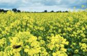 La lutte préventive contre les grosses altises sur colza passe par une combinaison de pratiques agronomiques.