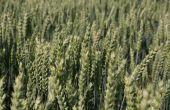 Sorbet CS,  BPS, fait partie des quatre nouveautés de blés 2019 chez Caussade Semences.